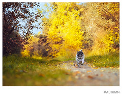 #Atumn (f4l3nt1n0) Tags: atumn mops pug nature fall fallscolors sonyalpha6000 50mmf18 depthoffield dog pet forrest hund wald