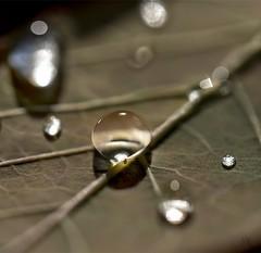 """Bug-endipity"" (marianna_a.) Tags: bugendipity water drop droplet leaf autumn fall macro meniscus bug tiny cute surprise serendipity mariannaarmata"