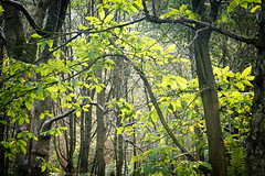 Order in the Chaos (h_cowell) Tags: tree trees branches wood woodland forest light sunlit fade faded alderleyedge cheshire green leaves nationaltrust panasonic gx7 zoom outdoor appicoftheweek nature foliage woods