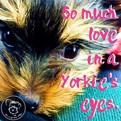 Yorkies are simply the best. (itsayorkielife) Tags: yorkiememe yorkie yorkshireterrier quote