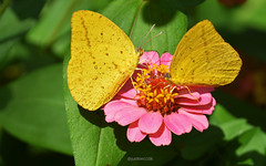 Cloudless sulphur (justkim1106) Tags: butterfly insect flower zinnia nature