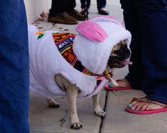 _DSC6961 (Deborah Judy) Tags: animal pet dog costume halloween pug
