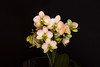 Orchid (Infomastern) Tags: blomma flower orchid orkide