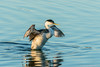Western Grebe (Wideangle55) Tags: 600mm sanjoaquinmarsh wildlifesanctuary sanjoaquinmarshwildlifesanctuary wideangle55 nikon d800 colors birds yellow 14teleconverter westerngrebe grebe
