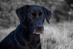 Buddy (Flemming Andersen) Tags: black buddy retriever dog hurupthy northdenmarkregion denmark dk