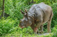 DSC_1851 ts (Photos by Kathy) Tags: cincinnatizoo animals zoo zoos nature kathymoore nikon2000 greateronehornedindianrhino rhinosarus rhino