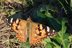 himeakatateha_16y03 (takao-bw) Tags:  paintedlady  brushfootedbutterfly butterfly lepidoptera insect japan