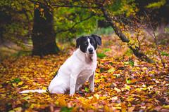 My second best friend (Richard Larssen) Tags: richard richardlarssen larssen norway norge norwegen nature forest tree leaf leaves dog animal sony scandinavia a7ii fe55 sel5518z