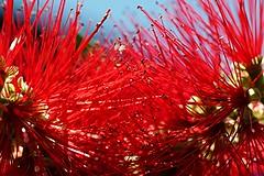 Macro Mondays -  Backlit (Explored 24th October 2016) (sylviamay1963) Tags: macromondaysbacklit red sunshine blue skyblue bottlebrush callistemon australiannative fleur plant nature