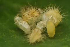 IMG_1409-Edit (LowellTyler) Tags: 7d eggs ladybug larvae mpe65 macro