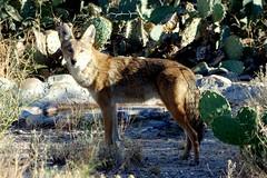 I see you, Mr Photographer (jimsc) Tags: coyote canislatrans wilddog critter predator canid canine wildlife looking spotting yard desert sonorandesert arizona tucson catalina pimacounty standing staring eyeing pentax k50 jimsc ngc afternoon