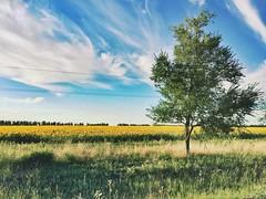 Through the Central Black Earth Region (exslym) Tags: relax daylight route russia centralblackearthregion tree grass sunflower break roadtrip travel landscape summer sky field