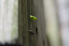 Katydid and Friend (Mark_Dangerous) Tags: katydid millipede insects bugs nature outdoors macrophotography