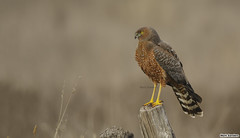 Spotted Harrier (Circus assimilis) (Origma) Tags: spottedharrier circusassimilis