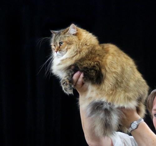 Siberian Cat, Tabby