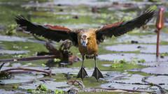 Lesser Whistling Duck (পাতি সরালি) (Minhajul Haque Anik) Tags: lesserwhistlingduck birding wildlife nature water flying