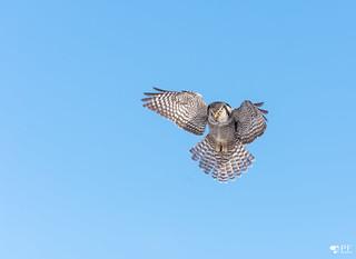 Chouette épervière/ Northern hawk owl