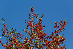 Ready for holidays (Irina1010 - out) Tags: berries red redberries tree nature sky blue canon