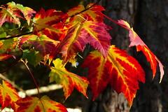 Autumn in the Mustila arboretum (Elimki, Kouvola, 20161002) (RainoL) Tags: 2016 201601002 201610 acer arboretum autumn elimki fin finland foliage fz200 geo:lat=6073043748 geo:lon=2641166230 geotagged kouvola kymenlaakso leaf maple mustila mustilaarboretum october plants sapindaceae tree
