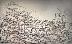 Vintage (jaxxon) Tags: 2016 d610 nikond610 jaxxon jacksoncarson nikon nikkor nikon105mmf28gvrmicro nikkor105mmf28gvrmicro 105mmf28gvrmicro 105mmf28 105mm f28 28 f28g afs vr macro micro prime fixed lens abstract abstraction wall vine vines autumn mess nature urban rural plaster