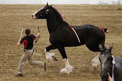 2014 Draft Horse Halter Show (Ya-u) Tags: nebraska nebraskastatefair shire drafthorse haltershow statefair fair horseshow drafthorseshow horse