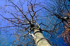 Bare Oak Tree along Bruce Trail above Kerncliff Park, Burlington (Joseph Hollick) Tags: burlington kerncliffpark autumn oaktree tree bare brucetrail