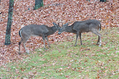 Bucks fighting... (repete7) Tags: deer mammal buck antlers whitetaileddeer virginia rut canon canon70d canon100400