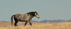 Nightsky (chad.hanson) Tags: wildlife wyoming mustangs wildhorses lostcreekhma