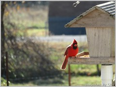 Cardinals (Snapshots by JD) Tags: cardinal westville red