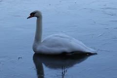 Mute Swan (Cygnus olor) (Rezamink) Tags: muteswan cygnusolor birds uk