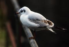 Black-headed Gull (2) (grahamh1651) Tags: helstonboatinglake birds gulls ducks geese waterbirds swans