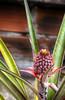 La piña (JuanEsOc) Tags: cosecha plantas piña pineapple abacaxi