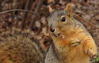 Squirrel, Morton Arboretum. 376 (EOS)