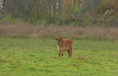 Don't look so dazed, you yourself chased the geese away and because of that they are producing noise like hell :) (joeke pieters) Tags: 1310223 panasonicdmcfz150 heckrund heckrind heckcattle kalf kalb calf burlovardingholtervenn landschap landscape landschaft paysage herfst herbst autumn fall automne