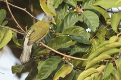 Gary-Headed Bulbul - Pycnonotus priocephalus (amitbandekar) Tags: pycnonotus priocephalus bulbul verna goa india