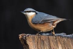 Kleiber - Nuthatch (rengawfalo) Tags: nuthatch kleiber vogel bird natur nature wildlife