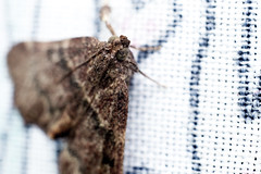 Fabmo (Eric Gitonga) Tags: 32x48 moth ericgitonga kenya nature macro arthropods phylum kingdom arthropoda animal animalia segment segmented head abdomen legs mouth eyes compoundeye simpleeye instar exuvia moult exoskeleton grow develop misunderstood stinger sting egg fertilization sperm female male nairobi njathaini pickengardensestate northernbypass insect insecta thorax 6legs sixlegs wings flight crawl antenna