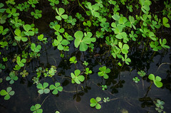 Leaves... (Ivon Murugesan) Tags: green india indianvillage letsexplore paddyfield places play tamilnadu travel village leaf leaves gogreen water waterscapes waterbody plant plants nature reflection reflections outdoor