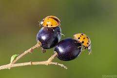 Family Dispute (Vie Lipowski) Tags: ladybug ladybird ladybeetle ligustrumsinense chineseprivet privetflowerseed insect beetle bug plant seed shrub bush wildlife nature macro