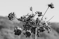 Afterlife (marktmcn) Tags: weed hogweed gone seed autumnal wild plant heavy with many seeds outstretched autumn blackandwhite monochrome d610