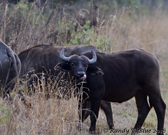 South Africa--Kruger One 007 (REBlue) Tags: southafrica mpumalangaprovince krugernationalpark africancapebuffalo blackdeath bigfive