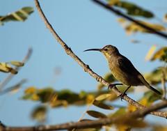 Amethyst Sunbird Female Swartsuikerbekkie (anthonielombard) Tags: amethyst sunbird female swartsuikerbekkie eastern cape fort beaufort ahlombard