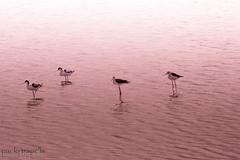 nel delta del p (paolotrapella) Tags: ucelli fauna delta del p