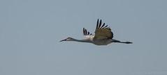 Sandhill Crane (kgilbertsen) Tags: sandhillcranes sandhillcranejasperpulaskiindiana crane bird