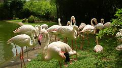 Greater Flamingoes ((Phoenicopterus roseus) (Chandana Witharanage) Tags: malaysia centralregionofmalaysia greaterflamingoes bird birds outdoor waterbirds wetland colourful closeup colour specanimal