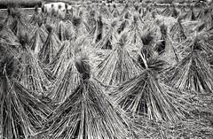 (David Davidoff) Tags: nature pattern texture rice paddy field harvest reap blackandwhite monochrome leicam6 rangefinder rf ilfordfilm