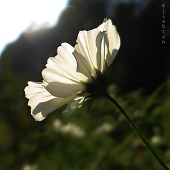 A contre-sens (nathaliedunaigre) Tags: fleur flower cosmos sunny ensoleill sun soleil white blanc carr square proxi