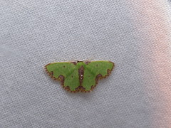 Synchlora xysteraria (teakestinghandly) Tags: lepidoptera geometridae moth synchlora xysteraria