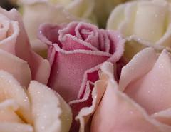 rose frost (gerard de mooij) Tags: roses frost flowers avalanche roos bloemen bloem rozen winter christmas kerst