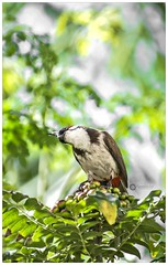 .. (Ramalakshmi Rajan) Tags: bulbul birds bird inmygarden nature redwhiskeredbulbul d5000 nikkor70300mm nikond5000 nikon